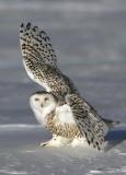 Snowy Owl - High-Five!!