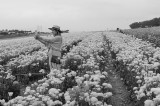 Work and Play in the Flower Fields 2