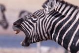 Zebra - Aggression