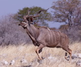 Male Kudu on the trot after his harem.
