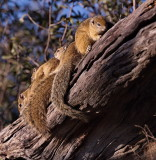 Squirrels sunning themselves in the early morning sun.
