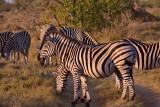Zebras in the late afternoon sun
