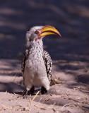 Southern Yellow Billed Hornbill - Flying Banana