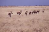 Springbok - Etosha