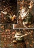 Copes Gray tree-frog