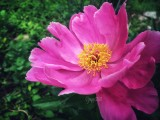 First Peony of Year