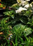 Rosemary-Begonia-Impatience