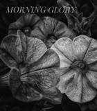 Verbina in Morning Glory Family