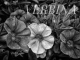 Verbina