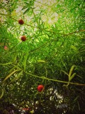 Blooming Asparagus Fern