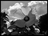 8-31-02 Hibiscus