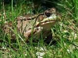 Suny green frog