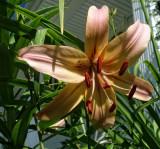 Peach Asian Lily DSC06610.jpg