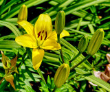 Yellow Asian Lily NEW03642_dphdr F-3.5.jpg