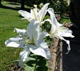 2017 White Lily