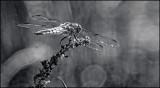 Suny DSC00245 (Wildlife) B&W.jpg