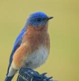 Bluebird 1080 high edited