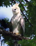Harpy Eagle chick