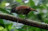 Female Black Antshrike