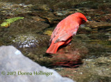 Summer Tanager Male (dusky on wings) Piranga rubra