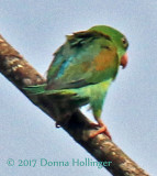 Orange Chinned Parakeet Brotogeris jugularis