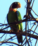 Pyrilia haematotus, Brown-hooded Parrot