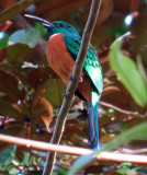 Great Jacamar