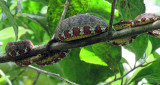 Eyelash Viper Swollen with a hummingbird in its stomach