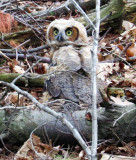 Great Horned Owlette who hasn't learned how to fly!