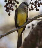 Gray headed Tanager