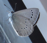 Silvery Blue! in the Breezeway