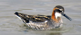 Male Phalarope