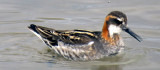 Male  Red-necked Phalarope Feeding