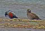 Male and Female Harlequin Ducks on Hvítárvatn