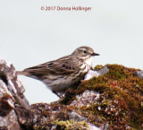 Meadow Pipit in Iceland...on the moss