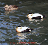 2 Common Male Eiders  and a female