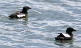 2 Black Guillemots