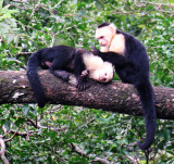 White Faced Capachin Monkeys Groomiing