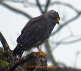 GrayLined Hawk