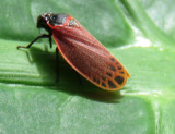 Leaf Hopper on a Leaf