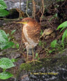 Bare Throated Fasciated? Tiger-Heron