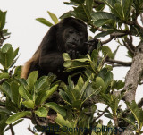 Red Howler Eating Leaves