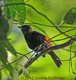 Female Cherrie's Tanager