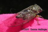 A cicada visited my window.
