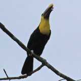 Chestnut Mandibled Toucan Tossing his fruit!