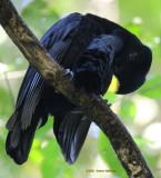 Umbrellabird in Ecuador