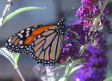 Monarch on the Butterfly Weed