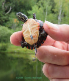Peteer is holding a baby Painted Turtle