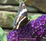 Red Admiral on Butterfly Bush