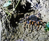 Female Tarantula in a mud cave at night!